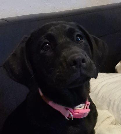 Cachorra Arraçada Labrador