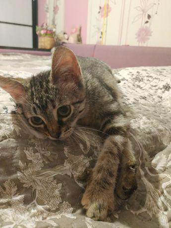 Отдам котёнка лесного окраса, девочка , 2 месяца