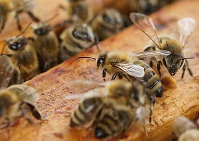 Pszczoły,Odkłady,Rodziny pszczele 7 ramek( bardzo łagodne )