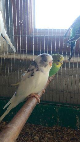 Papuzka falista