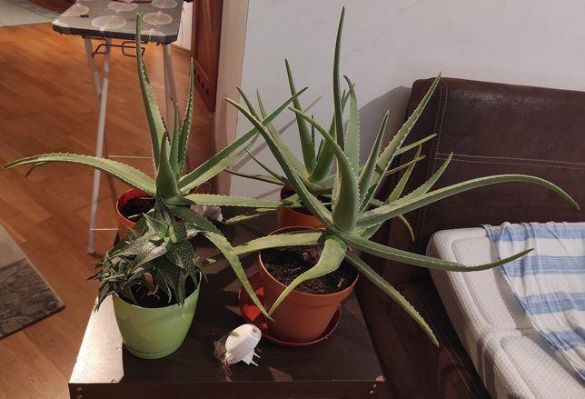 Aloe  Veras aloes