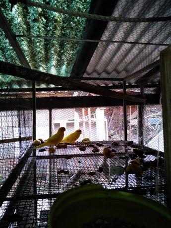 Troco karakeki amarelo