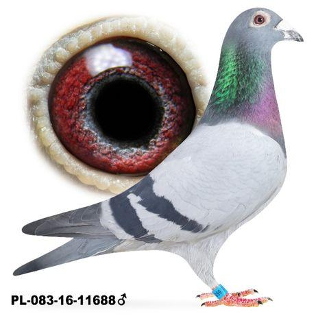 Młode 2021 para 30, A. Felske l.Olimp Trzaska gołąb gołębie pocztowe