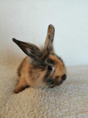 Królik miniaturka, króliczek miniaturowy, baranek