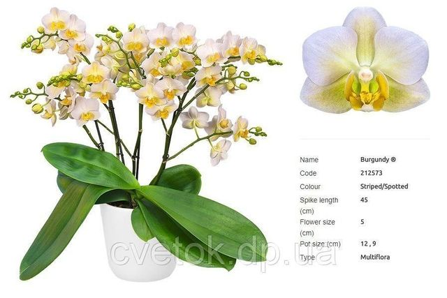 Орхидея Burgundy