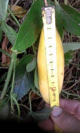 Plantas Maracujá banana ? o Poderoso Resistente.