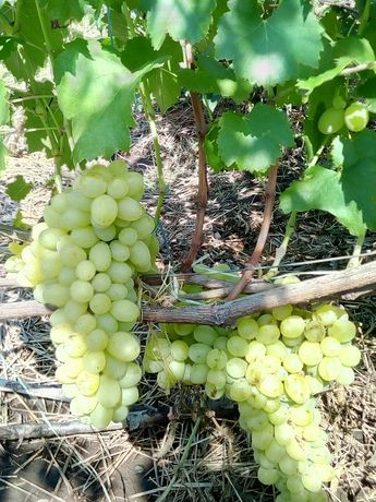 Саженцы сортового вегитирующего винограда