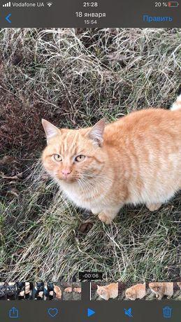 Отдам рыжего кота, 2 года