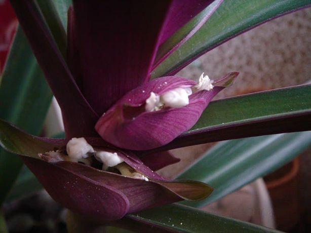 Лиственное растение Рео