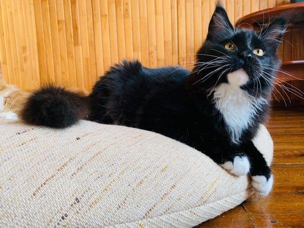 Мейн кун котенок   Оригинальный окрас
