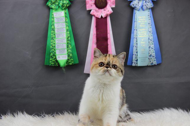 Gatinha Persa Exotica pelo curto | Exotic Shorhair | 5 meses | Femea