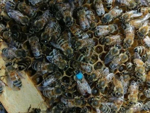 Canetas marcador para marcação de abelhas rainha - apicultura - novas