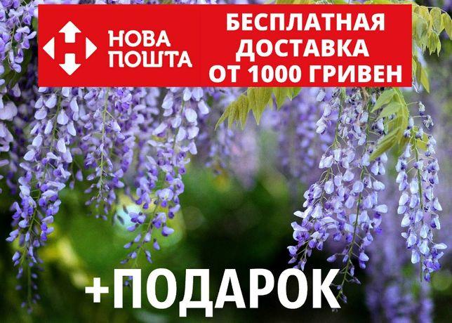 Глициния семена 10 шт (вистерия) насіння на саджанці, для саженцев
