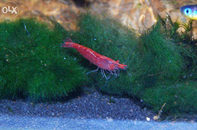 Krewetka Red Cherry - intensywnie wybarwiona