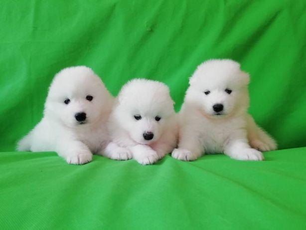 Подростают щенки самоеда.
