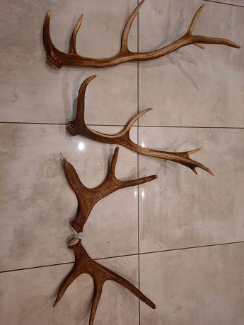 Poroże jelenia 4 sztuki