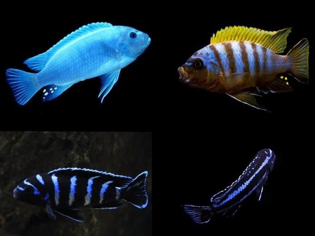 Африканские цихлиды Малави Виктория Аквариумные рыбки Аулонокара