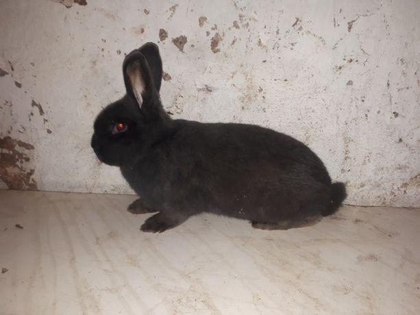 króliki wiedeńskie