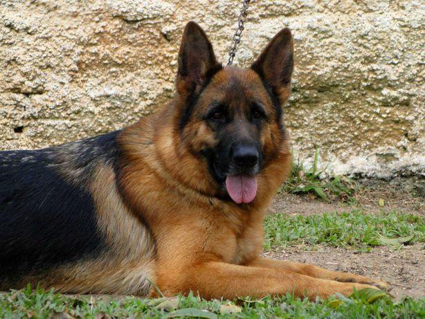Cachorro  Pastor Alemão  de grande porte - Alta qualidade
