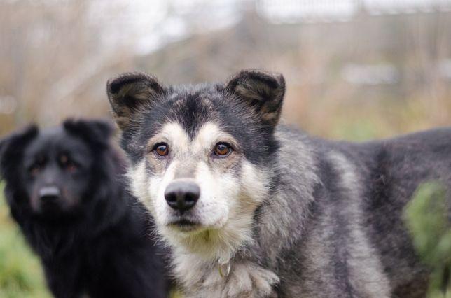 LUMI-husky-jak wygląda życie psa w domu, pokażesz?