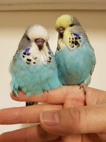 Волнистые попугаи птенчики для каждого.