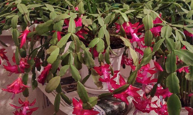 Комнатный цветок Рождественник