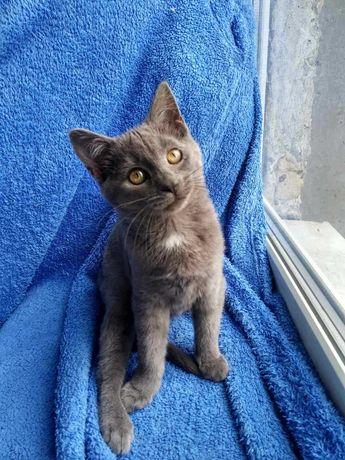 Котенок девочка Дымка, 3 месяца, приучена к лотку, обработана