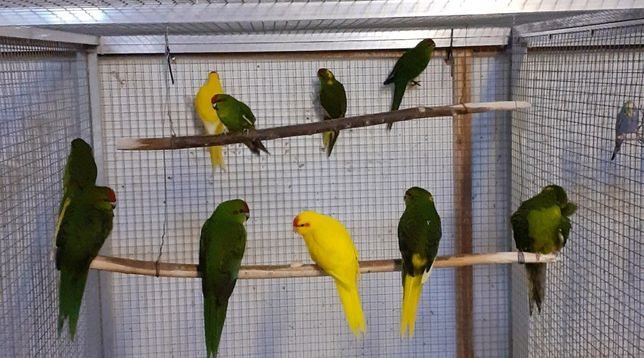 Тихий и ручной попугай какарик