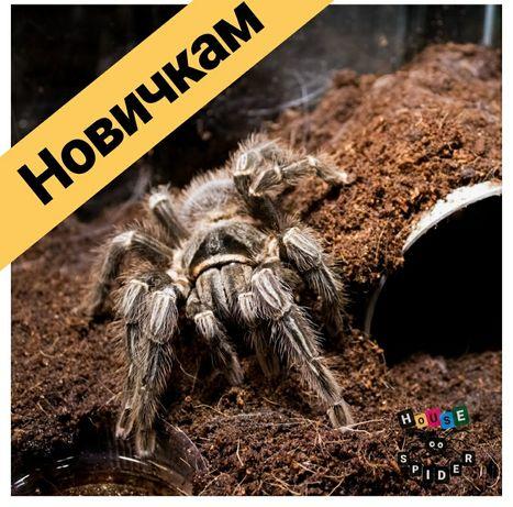Lasiodora parahybana самки паука птицееда для новичков по Украине