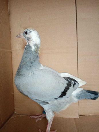 Gołębie pocztowe młode 2021r