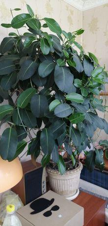 Стефанотис-мадагаскарский (жасминовый)