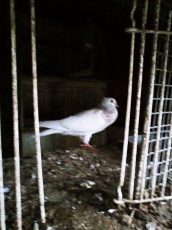 Sztajwicer sztajwr młody gołębie