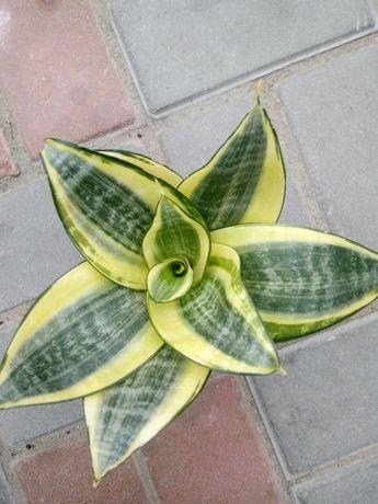 Сансевиерия цветок