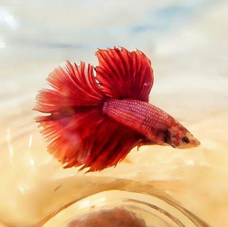 Петушок мультиколор, красный/синий вуалевый, коронохвостый, дельта