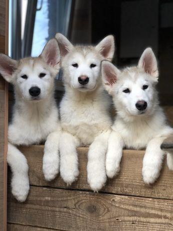 Девочки и мальчики-шикарные-Аляскинского Маламута!