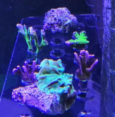 Montipora digitata akwarium morskie Pink, Red, Silver, violet