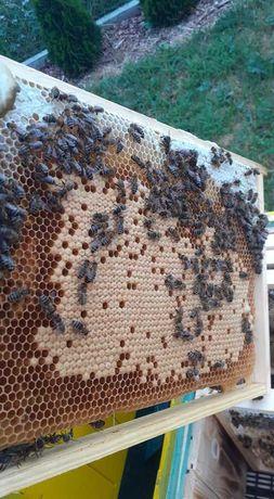 odkład pszczeli ,rodzina pszczela. kranika celle lub buckwast kb