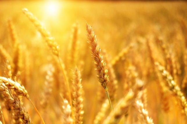 Продам пшеницю...