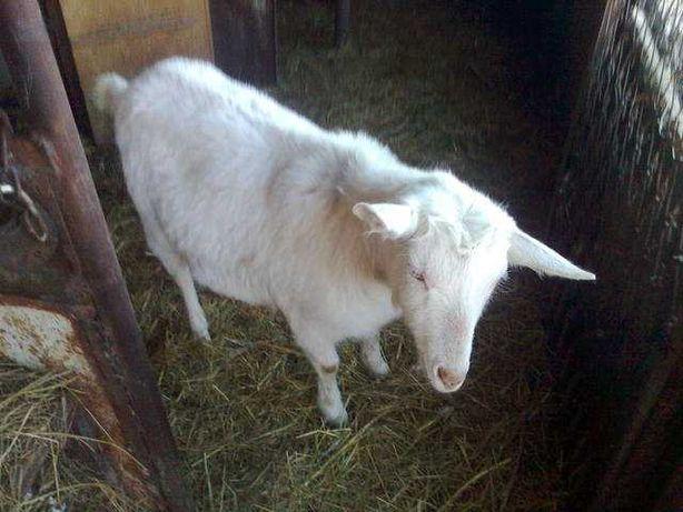 Срочно продам молодую козу, 1200 торг