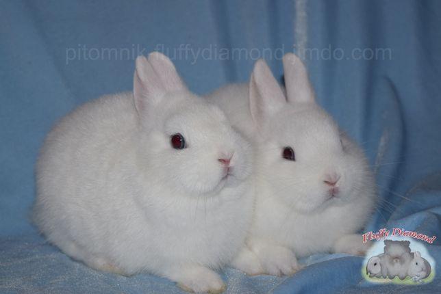 Кролик породы гермелин. Мальчик. Самая маленькая порода кроликов