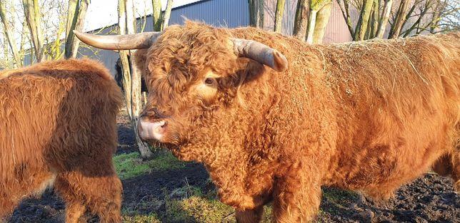 "Highland Cattle (Bydło szkockie) byk ""Drostan vom Stührener Berg"""