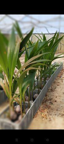 Plantas coqueiros