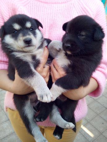 Продам щенков лайки.
