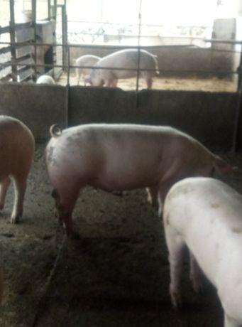 Продам свиней живым весом
