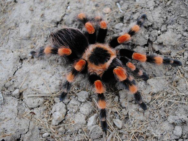 Brachypelma smithi cfvrb паука птицееда для новичков