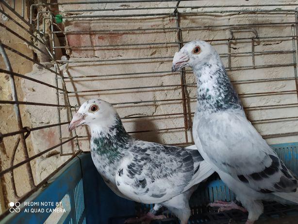 Staropolskie gołębie para