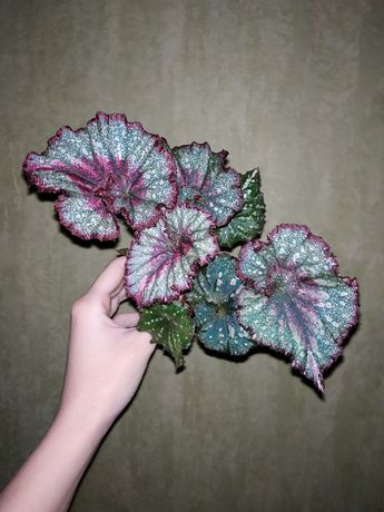 Королевские Бегонии - декоративно-лиственные