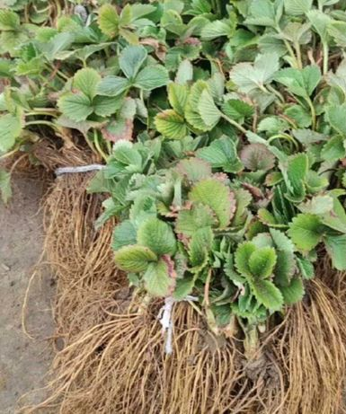 Рассада клубники (саженцы клубники) росада полуниціі