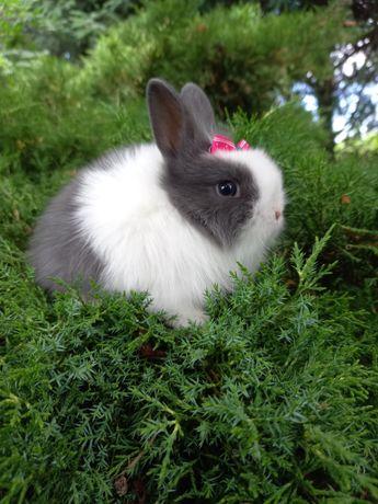A1 króliczek TEDDY KARZEŁEK mini lop NIEBIESKI wyprawka gratis blue