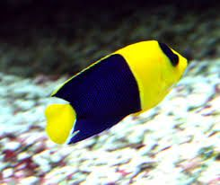 Morskie - Centropyge bicolor sm